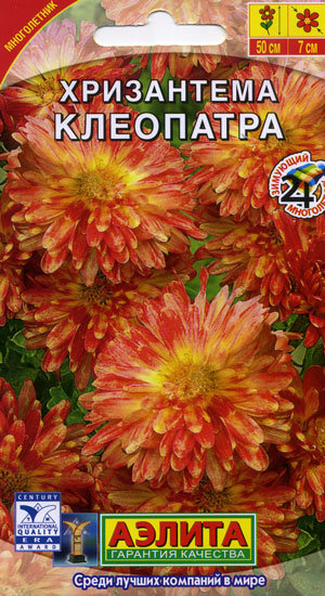 Хризантема индийская клеопатра выращивание из семян 17