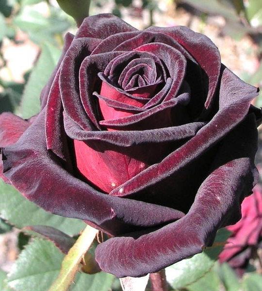 Сорт бордовых роз названия
