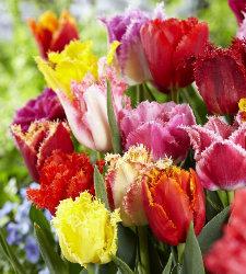 Тюльпан Бахромчатый, смесь