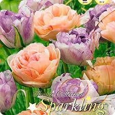 Тюльпан ширли дабл фото