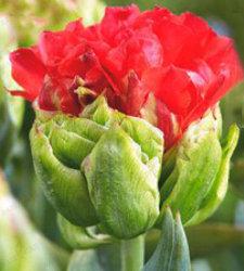 Тюльпан Дабл Кросби